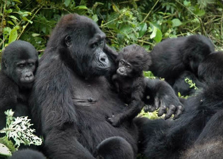 It's a Gorilla Baby Boom!