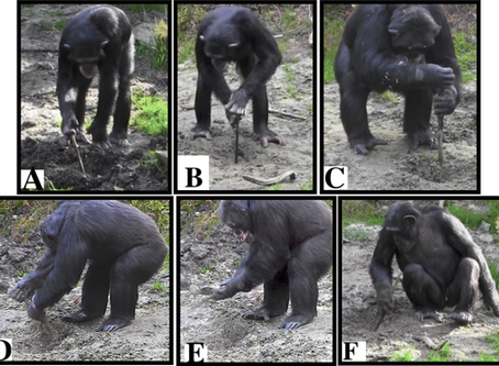 New study: Chimpanzees can use tools to dig for underground food