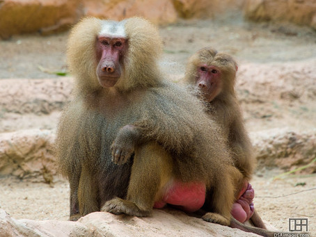 The story hamadryas baboons tell, or the one we tell them: How women look further into the narrative