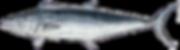 spanish-mackerel.png