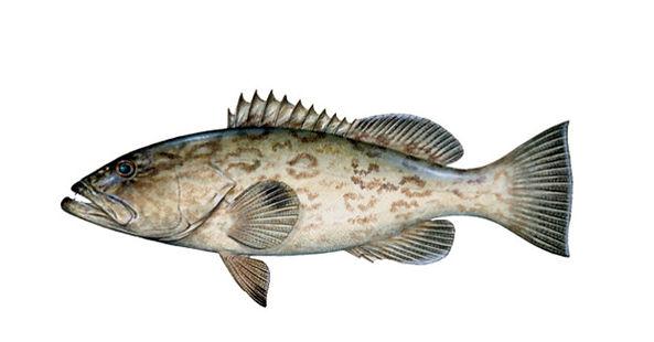 gag-grouper.jpg