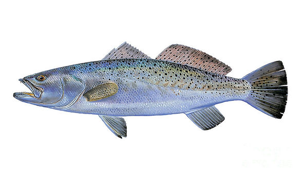 speckled-trout.jpg