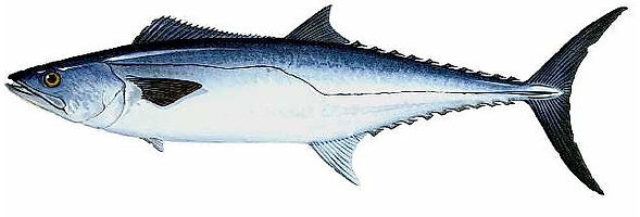 king-mackerel.jpg