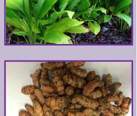 TURMERIC: A condiment and medicinal crop