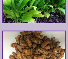 TURMERIC: A condiment and medicinal crop