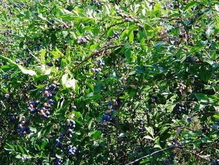 Organic Blueberry Production on  Heavy Soils with Animal and Forest Waste to Increase Vitamin–C and