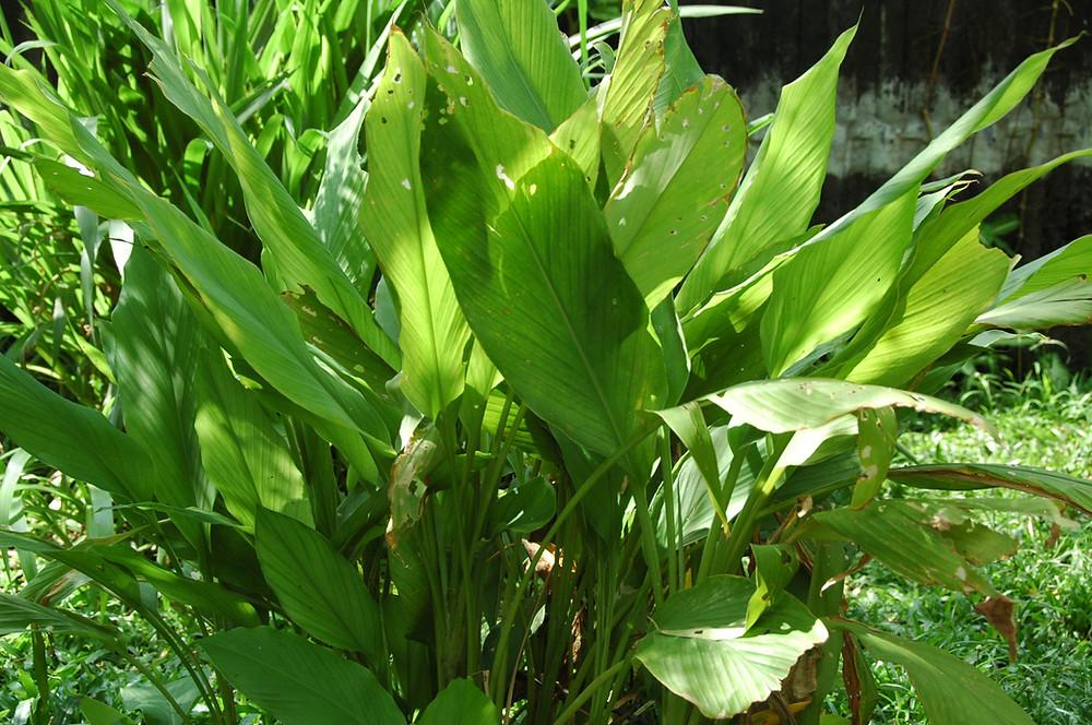 turmeric fully grown plant.jpg