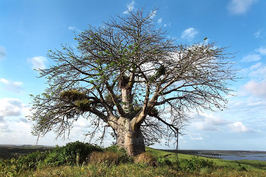 Agô - foto baobá