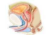 urinary_genital_organ_09.jpg