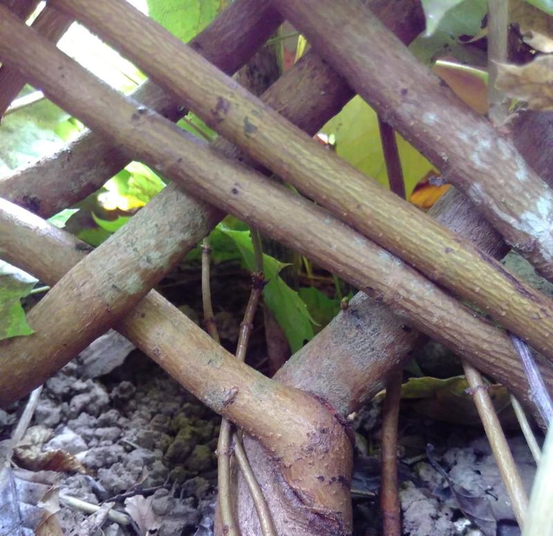 Äste lassen sich formen und wachsen zu einem Gebrauchsgegenstand oder Kunstwerk