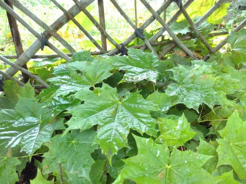 Ein Zaun aus lebendigem Gehölz voller grüner Blätter, der seine Funktion erfüllt und trotzdem Sauerstoff produziert und Kohlenstoffdioxid bindet