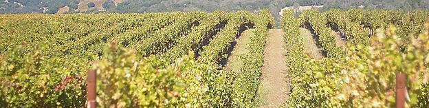 vines rows.jpg