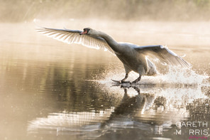 Swan Landing