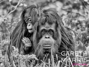 Oranguntan and child