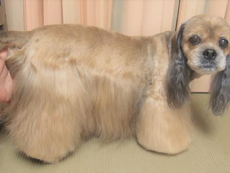 トリミング☆MIX犬(コッカー✖シーズー)我が家のわんこ事情