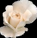 white rose 1.png