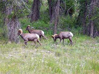 phoca_thumb_l_wildlife_bighorn-sheep-kec