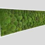 Kugelmoosbild 150x50 cm