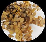 Eukalyptus Stuartiana