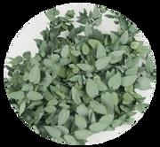 Eukalyptus Stuartian