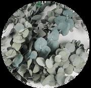 Eukalyptus Cinerea