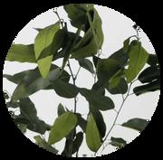 Eukalyptus Willow