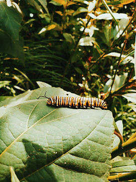 close-up-photography-of-monarch-caterpil