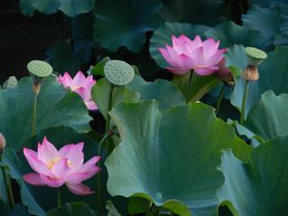 GT1_Lotus