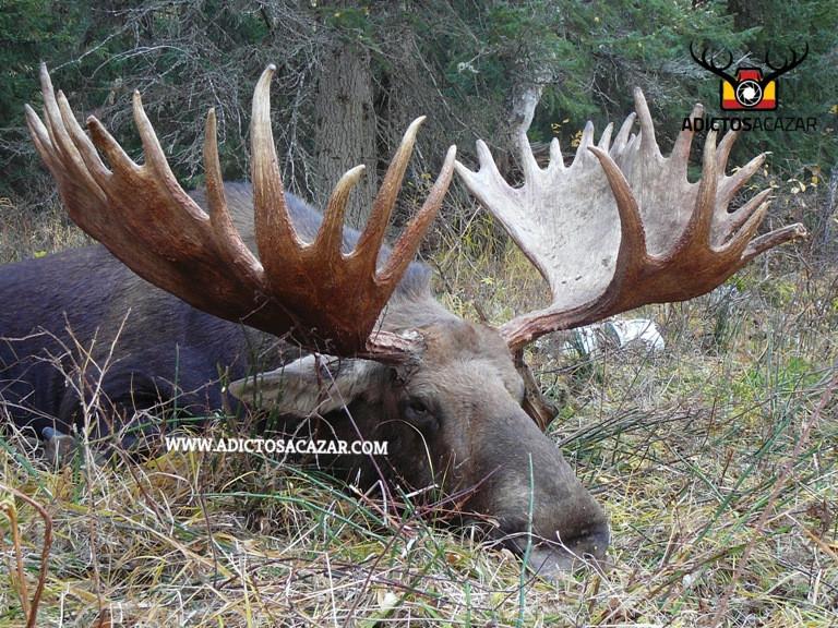 Kamchatka trophy moose Hun.jpg