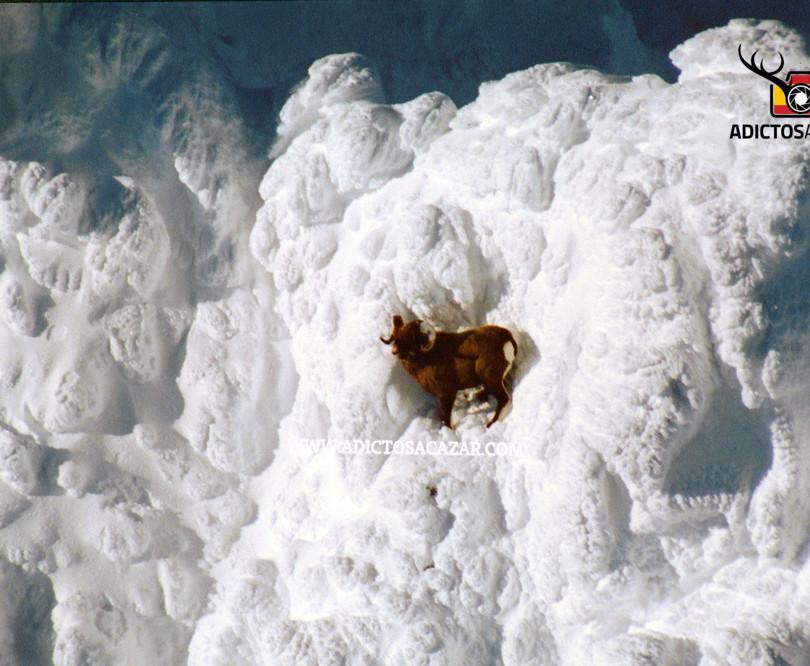 Snowsheep from Kamchatka.jpg