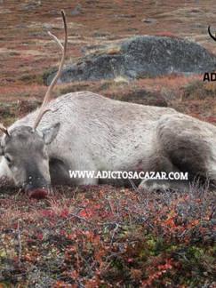 tour 3 reindeer.jpg