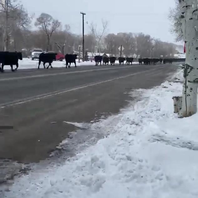 Cows.mp4