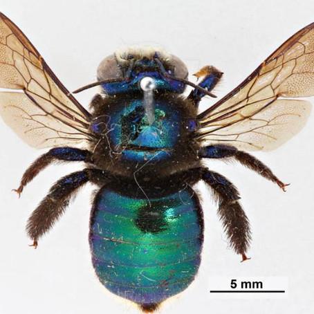 Majestic Metallic - Peacock Carpenter Bee