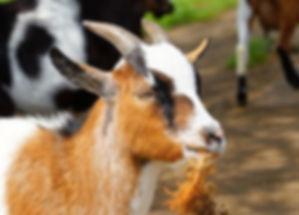 goat-2343137_640_edited_edited.jpg