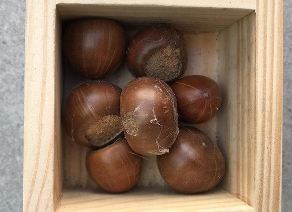 小西氏石櫟