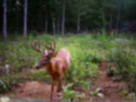 This is an 8 point buck that may be a shooter with a bow.  Archery hunting velvet bucks should be fun this year.