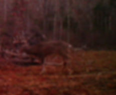 This foggy morning deer has a large body and antlers to match.