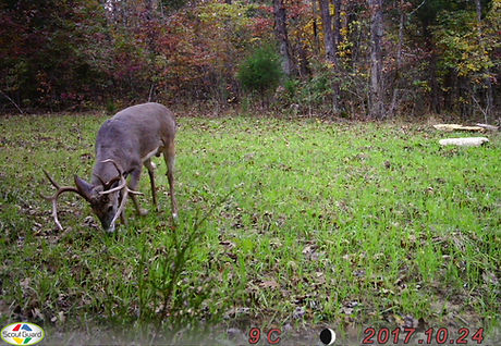 A huge drop tine buck.  This is an amazing deer.
