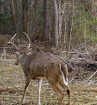 This old deer has a nice thick trophy rack.