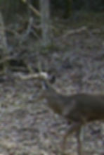 Other video show how wide this young deer is.  Should be  whopper on a 2018 deer hunt.