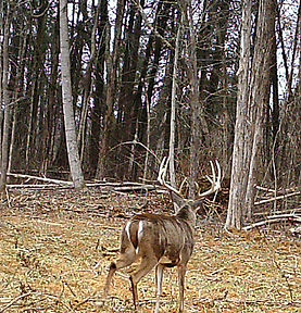 Large whitetail buck that is still alive for 2018.