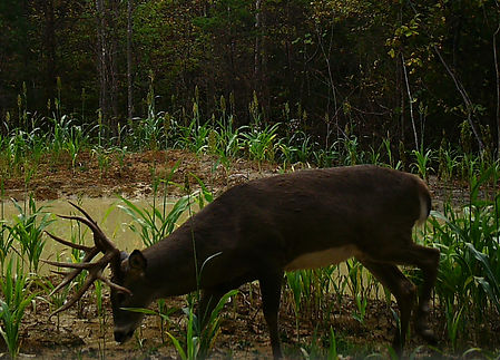 Two huge bucks seen together at a deer feeder at KY Heartland Outfitters.