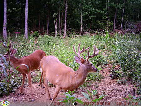 A side view of the older 10 point buck.