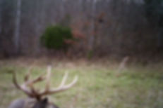 This is a picture of the crab claw buck.  We have many nice pictures of this big deer.