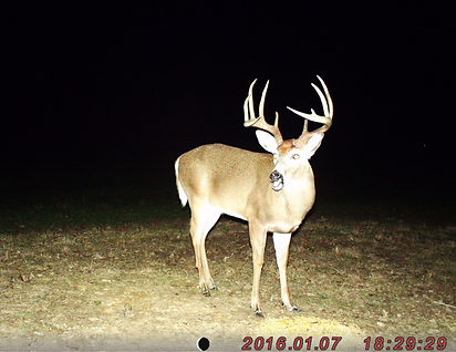 A trail camera photo of a large whitetail buck.