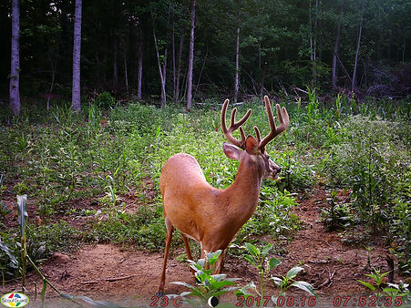 A side view picture of the 8 point whitetail buck deer.