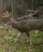 Nice stud of a buck in a food plot during the Kentucky rut.