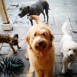 #jessicabergs_woofpack #training #grooming #boarding #woofpack #ocdogs #goldendoodlesofinstagram #bo
