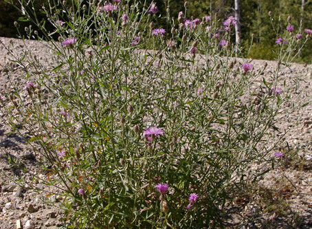 How well do you know your knapweeds?