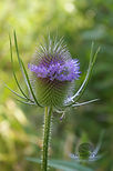 Teasel head with flowers